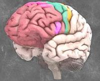 Prefrontaler-Cortex-mit-einzelnen-Bereichen.jpeg